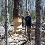 West Michigan Beaver trapping and removal services.