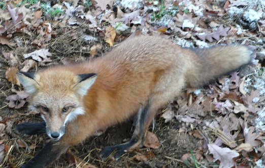 MI red fox captured while trying to kill the farmers chickens.
