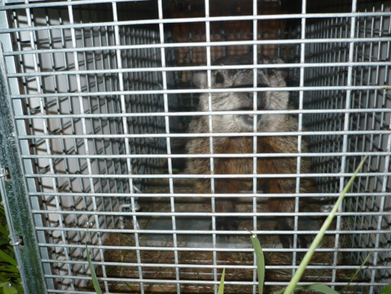 Greenville, mi woodchuck trapping and removal services.
