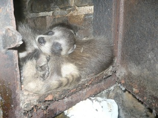 Michigan Raccoon Animal Control Raccoon Removal From