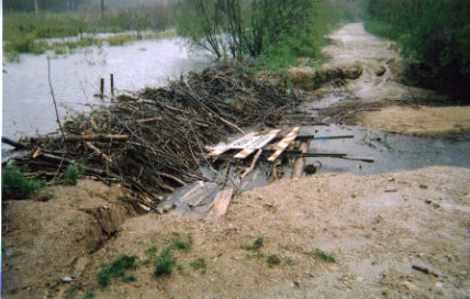 MI Beaver damming and flooding a road.