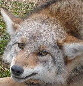 West Michigan coyote trapping and control programs available.