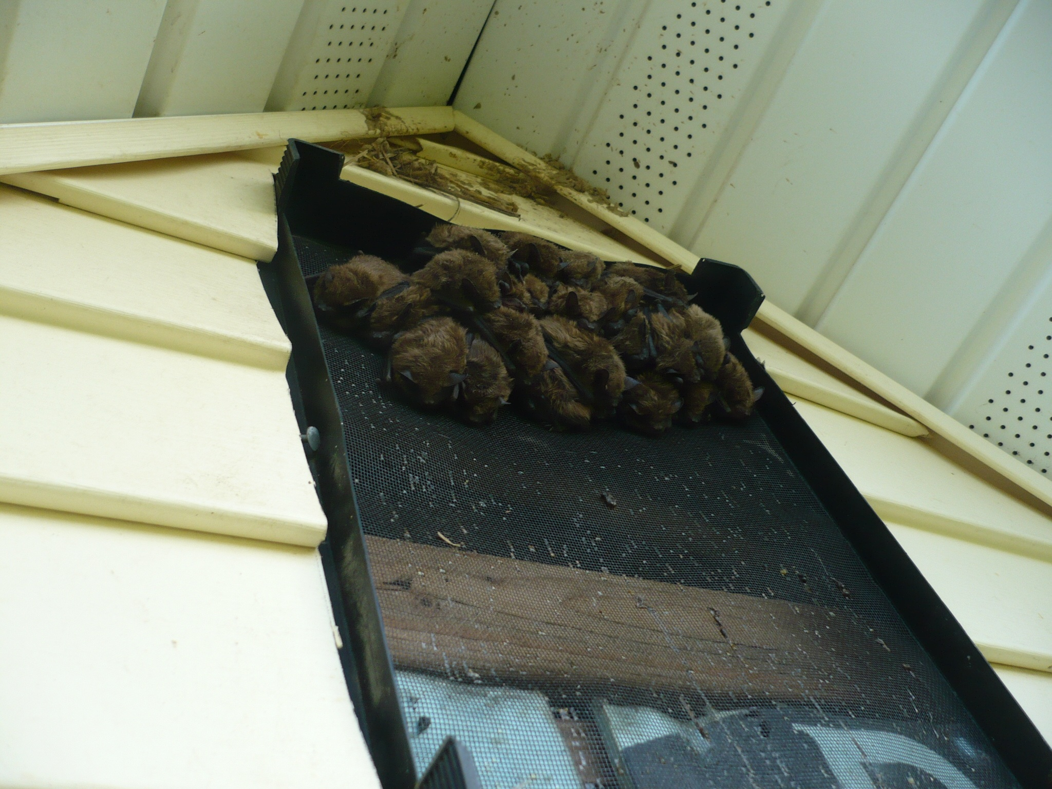 bats going through a gable vent on a house in edmore, mi